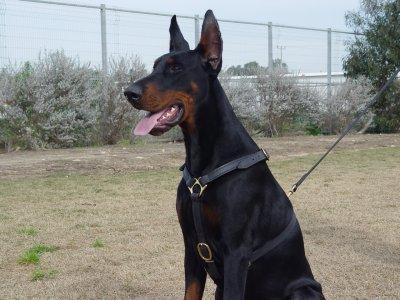 <img300*0:http://www.fordogtrainer.com/pics/dog-harness/leather-dog-harness/dog-harness-luxury/dog-harness-leather-doberman-tracking-black.jpg>