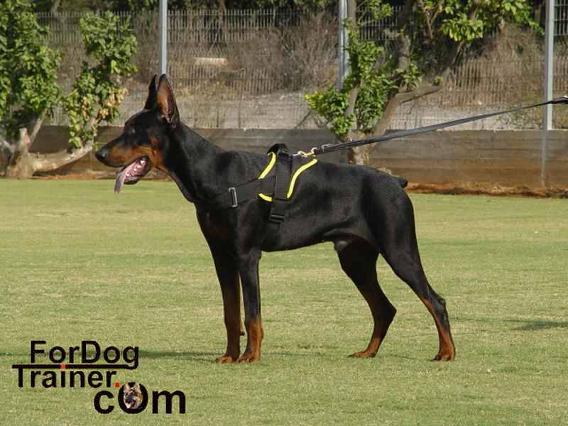 http://www.fordogtrainer.com/pics/dog-harness/nylon-dog-harness/doberman-nylon-police-harness-big.jpg